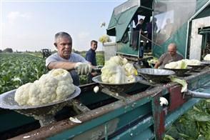 Poolse arbeiders oogsten bloemkool