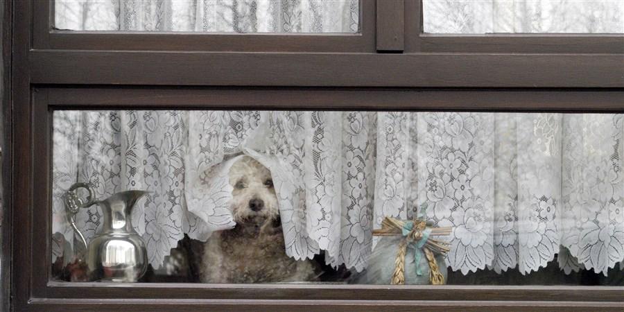 poedel kijkt door de vitrage naar buiten