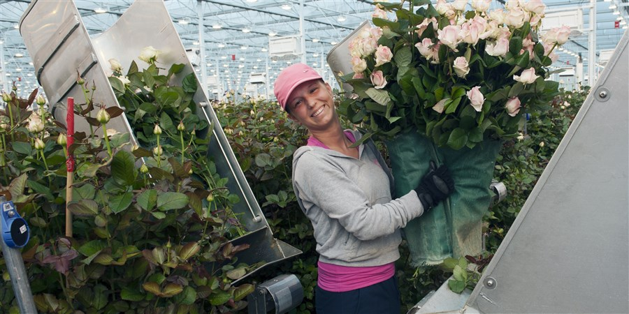 Een vrouw in een kas met een enorme bos lichtroze rozen
