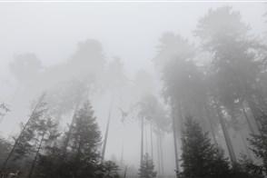 Mist in een dennenbos