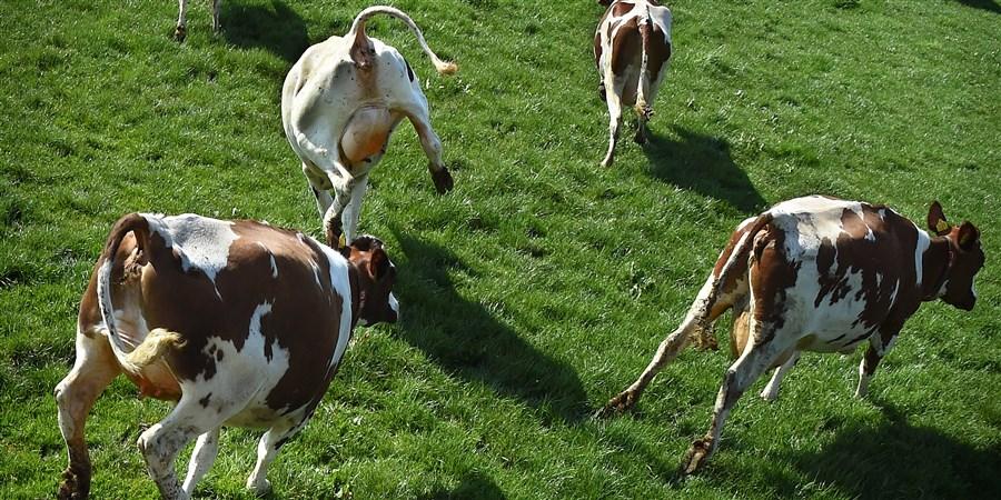 Koeien springen in de wei