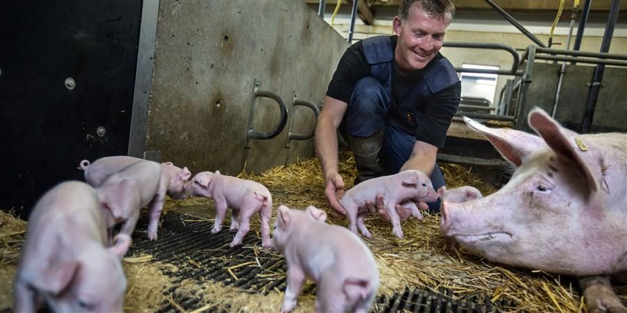 Varkenshouder geknield bij zijn biggen en een zeug in een varkensstal