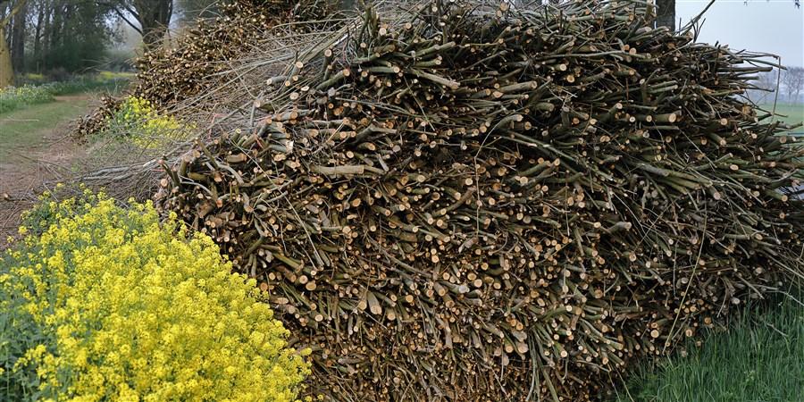 Bossen wilgentakken naast koolzaad in bloei