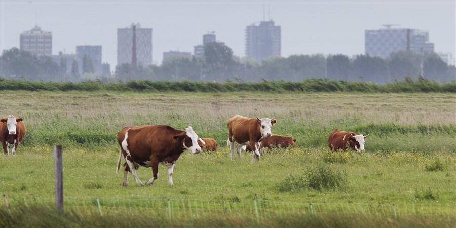 Koeien in natuurgebied Ackerdijkse Plassen met op de achtergrond de skyline van Rotterdam.