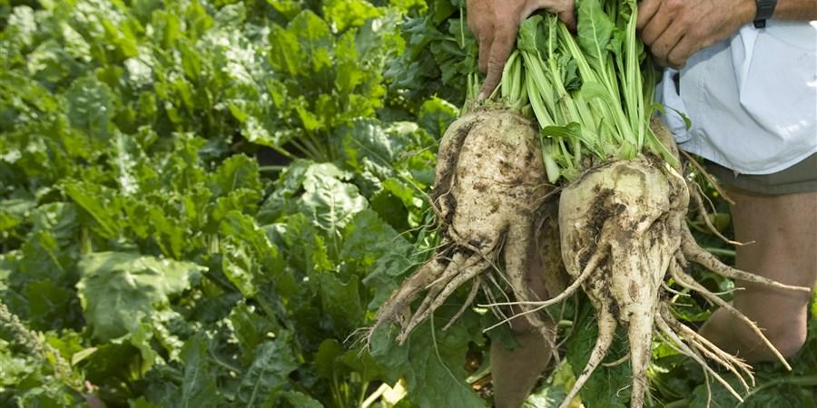 Een boer toont grote bieten die hij met de hand heeft geoogst