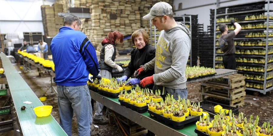 Uitzendkrachten selecteren zieke tulpen uit tulpenveld