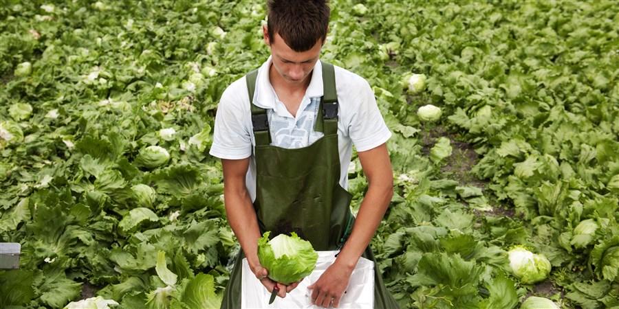 Poolse arbeiders oogsten IJsbergsla