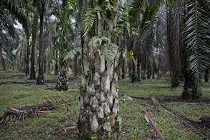 Palmolie plantage in Maleisie.