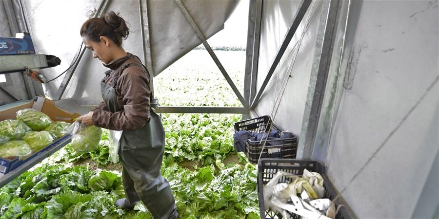 Jonge arbeidskrachten uit Bulgarije, Polen en Letland oogsten een veld met ijsbergsla.