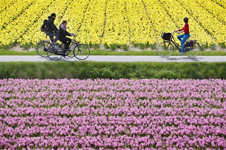 fietsers tussen bloeiende bollenvelden