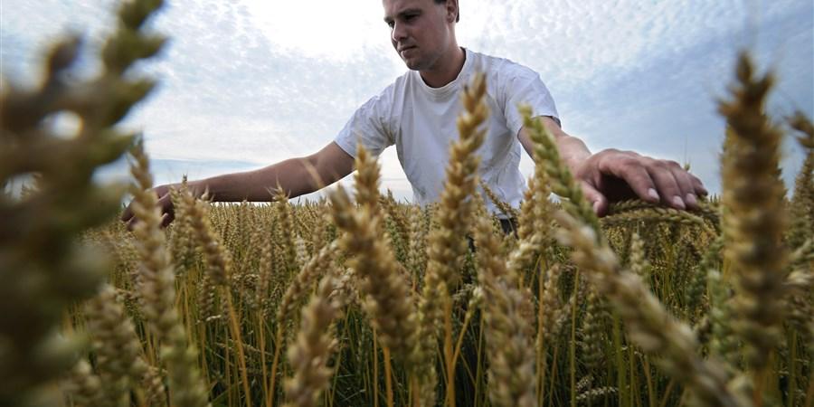een boer controleert zijn biologische tarwe