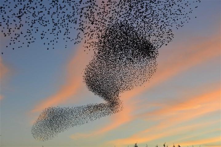 zwerm vogels bij avond