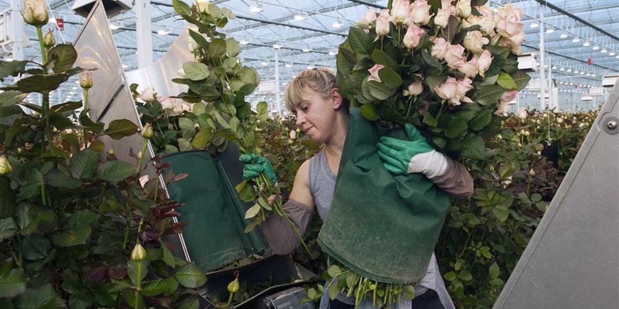 Een Poolse vrouw bundelt roze rozen in een kwekerij in Berkel en Rodenrijs.