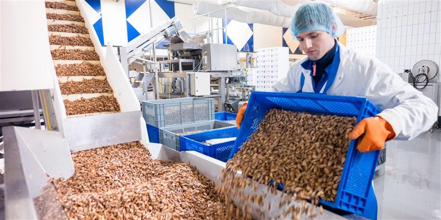 Een medewerker stort een bak met garnalen leeg in een geautomatiseerde verpakkings lijn.