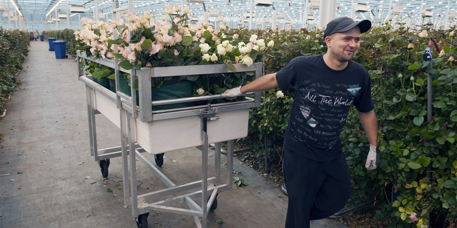 Man verplaatst kar met rozen door kwekerij