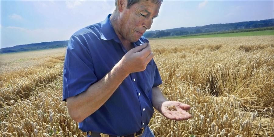 Akkerbouwer Theo Peters proeft zijn tarwe om te bepalen of het rijp is om te oogsten.