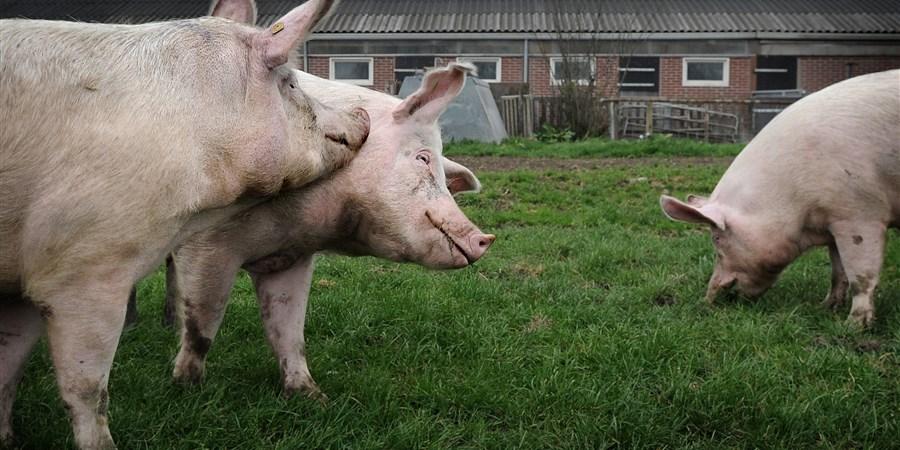 vrolijke varkens genieten van het gras en van elkaar