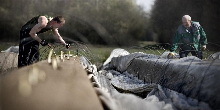 Op de akkers  van het bedrijf  v/d Beucken in Helden zijn zo'n 45 werknemers druk bezig met Het uitsteken van asperges.