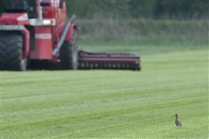Grutto op grasland met mestinjecteur op de achtergrond