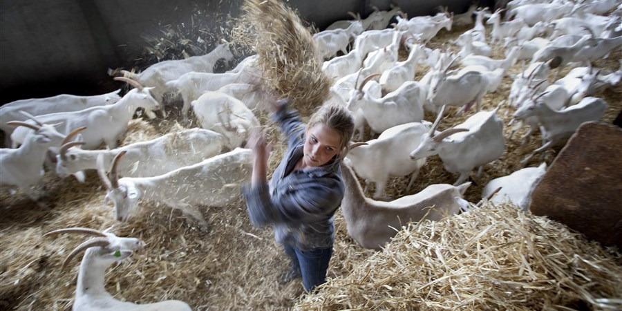 Meisje tussen de geiten schept stro