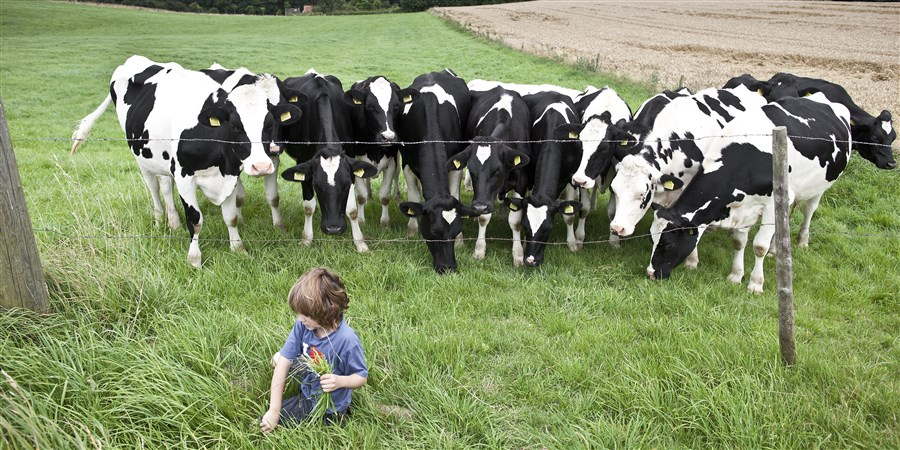 Kind plukt gras voor nieuwsgierige Holsteiner melkkoeien.