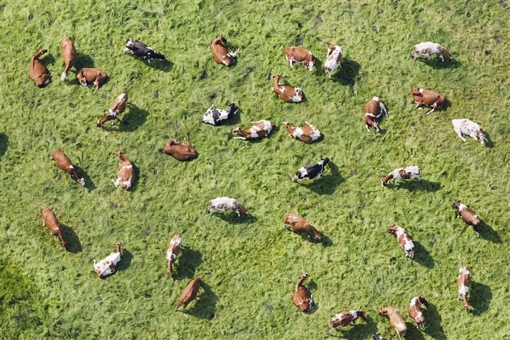 Kudde koeien vanuit de lucht gezien