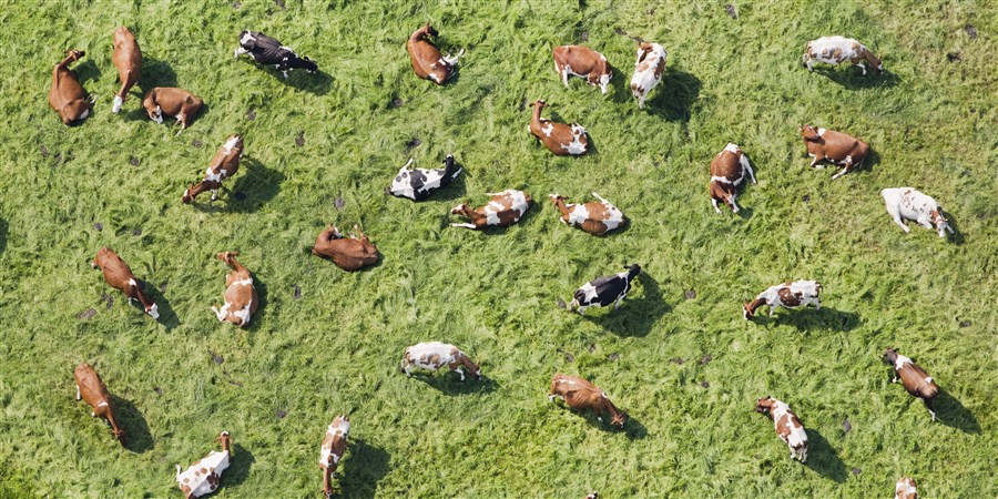Herd of cows seen from the air