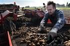 Een werknemer  haalt de troep tussen de aardappels uit op de rooimachine tijdens het rooien