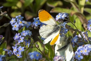Butterflies on small blue flowers