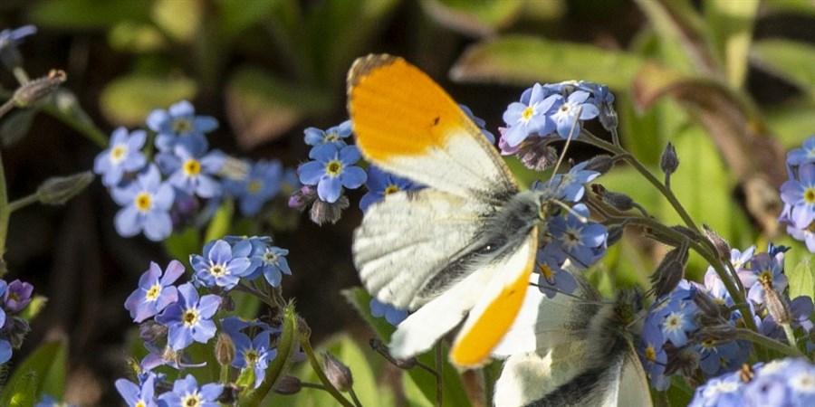 Butterflies on small blue flowers