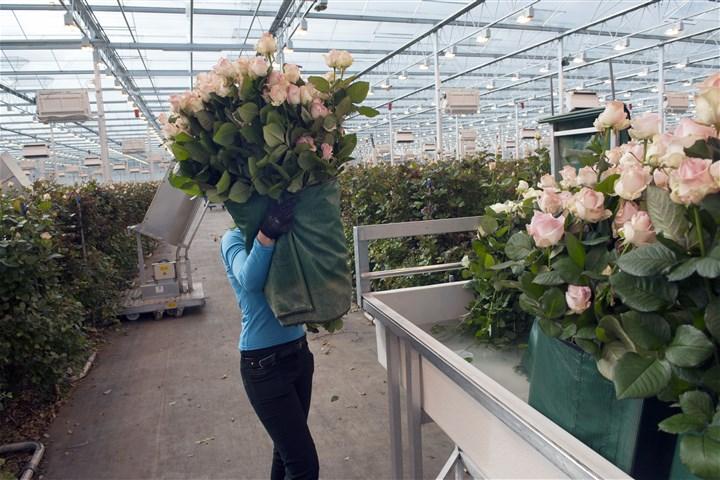 Een Poolse vrouw zet een bundel roze rozen in een bak met water in de kwekerij Boonekamp in het dorp Berkel en Rodenrijs.