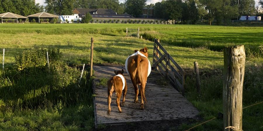 Koe met haar kalfje lopen over houten bruggetje naar een weiland