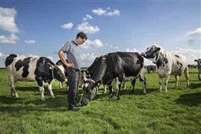 Biologische boer tussen zijn koeien in de wei